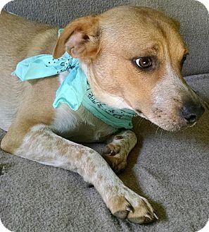 Boxer/English Springer Spaniel Mix Puppy for adoption in Fishkill, New York - SPENCER