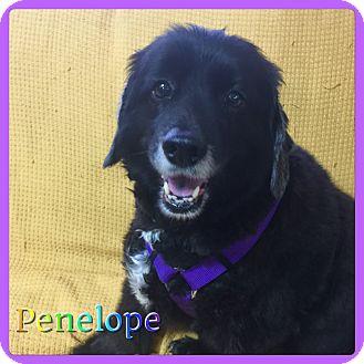 Cocker Spaniel Mix Dog for adoption in Hollywood, Florida - Penelope
