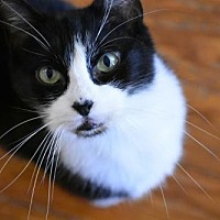 Domestic Shorthair Cat for adoption in Devon, Pennsylvania - Baby