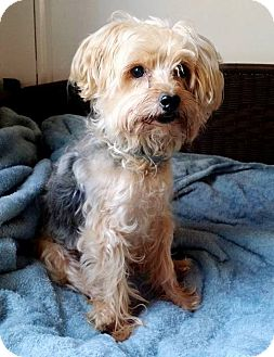 Yorkie, Yorkshire Terrier Dog for adoption in Lawrenceville, Georgia - Patrick