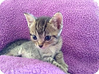 American Shorthair Kitten for adoption in Palm Desert, California - DUSTY