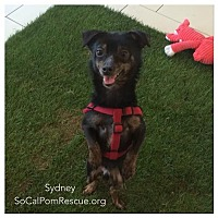 Adopt A Pet :: Sydney - Irvine, CA