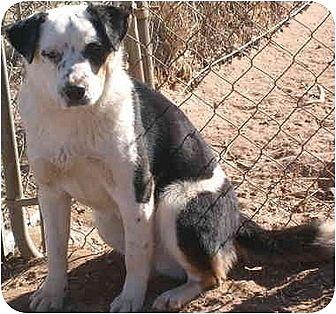 Akita/Border Collie Mix Dog for adoption in Anton, Texas - Petri