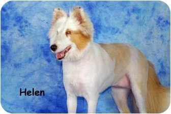 Sheltie, Shetland Sheepdog Dog for adoption in Ft. Myers, Florida - Helen