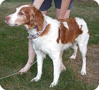Brittany Dog for adoption in Buffalo, New York - Hutch
