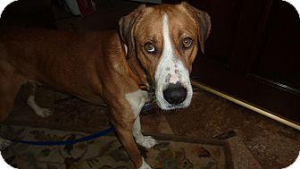 Hound (Unknown Type)/Great Dane Mix Dog for adoption in Raleigh, North Carolina - BAXTER