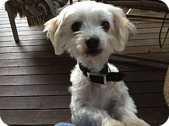 Maltese Mix Dog for adoption in Sheridan, Oregon - Zilpha