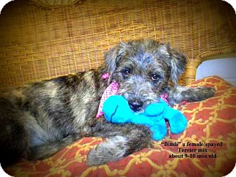 Terrier (Unknown Type, Small) Mix Dog for adoption in Gadsden, Alabama - Bindi