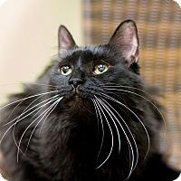 Adopt A Pet :: Kitt - Chicago, IL