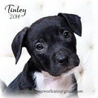 Adopt A Pet :: Tinley - New Orleans, LA