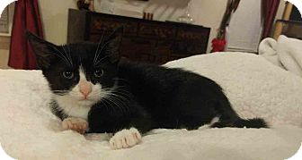 Domestic Shorthair Kitten for adoption in Gaithersburg, Maryland - Rudy