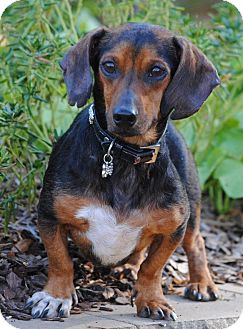 Dachshund Mix Dog for adoption in Cedartown, Georgia - Butterfinger