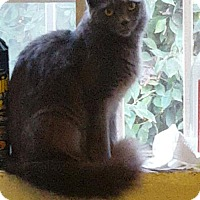 Russian Blue Cat for adoption in Los Angeles, California - Ariel