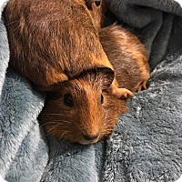 Adopt A Pet :: Caraway - Fort Worth, TX