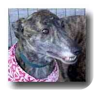 Greyhound Dog for adoption in Roanoke, Virginia - Losy