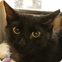Domestic Shorthair Cat for adoption in Richmond Hill, Ontario - Griffin