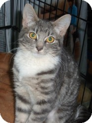 Domestic Shorthair Cat for adoption in Raritan, New Jersey - Adele
