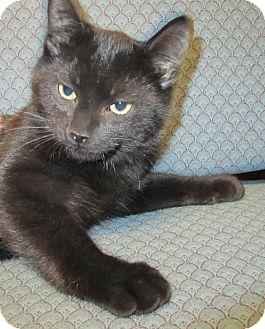 Domestic Shorthair Kitten for adoption in Jackson, Michigan - Salsa