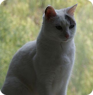 Domestic Shorthair Cat for adoption in San Fernando Valley, California - Ranger