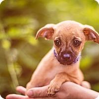 Adopt A Pet :: Bazooka - Austin, TX