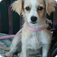 Adopt A Pet :: Honey - Canoga Park, CA
