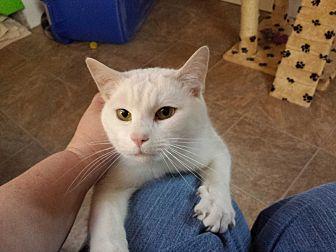 American Shorthair Cat for adoption in Waynesville, North Carolina - Spot-T