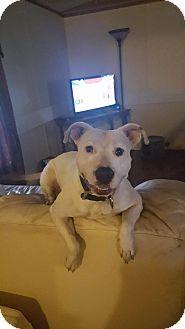 American Bulldog Mix Dog for adoption in Port Charlotte, Florida - Oralee