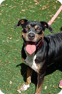 Hound (Unknown Type) Mix Dog for adoption in Bradenton, Florida - Penny