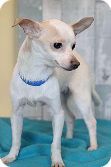 Chihuahua Mix Dog for adoption in Waldorf, Maryland - Boogeyman