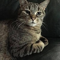 Domestic Shorthair Cat for adoption in Princeton, Minnesota - Dunkan