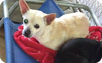 Chihuahua Mix Dog for adoption in Hammond, Louisiana - Yoda