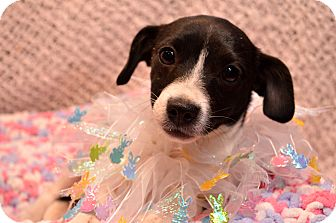 Chihuahua/Jack Russell Terrier Mix Puppy for adoption in Pittsburgh, Pennsylvania - Lula