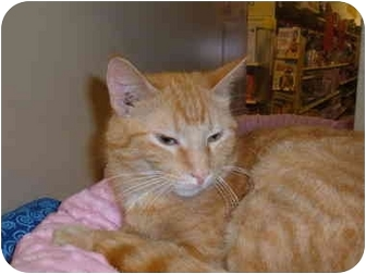 American Shorthair Cat for adoption in No.Charleston, South Carolina - JORDYN