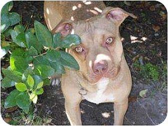Terrier (Unknown Type, Medium)/Labrador Retriever Mix Dog for adoption in Kingwood, Texas - Hudson