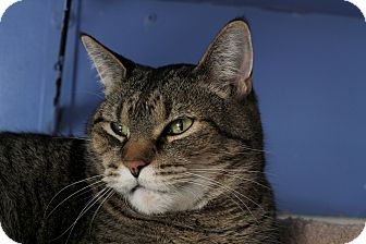 Domestic Shorthair Cat for adoption in Chicago, Illinois - Baines