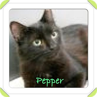 Domestic Longhair Cat for adoption in East Brunswick, New Jersey - Pepper