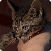 Adopt A Pet :: Tigerlilly - Brooklyn, NY