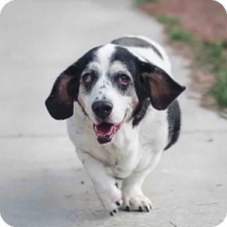 Basset Hound Mix Dog for adoption in Acton, California - Dora