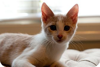 Domestic Shorthair Cat for adoption in Marietta, Georgia - Enzo