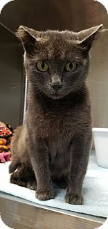 Russian Blue Cat for adoption in La Crescent, Minnesota - Stormy *Bicycle Fisher