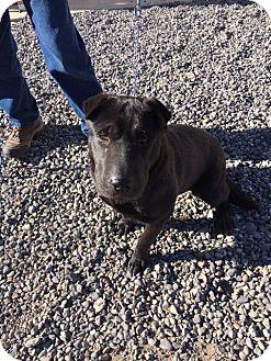 Labrador Retriever/Shar Pei Mix Dog for adoption in Cedaredge, Colorado - Sissy