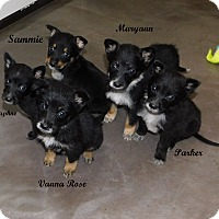 Adopt A Pet :: 4 female heeler mixes - mooresville, IN