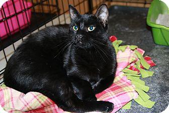 Domestic Shorthair Kitten for adoption in Rochester, Minnesota - Mocha