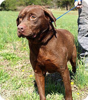Labrador Retriever/Rottweiler Mix Dog for adoption in Glastonbury, Connecticut - Bruceton