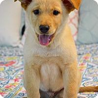 Adopt A Pet :: Mr. Butterscotch - Southington, CT