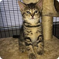Adopt A Pet :: Raven - Monroe, CT