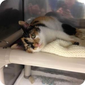 Domestic Shorthair Kitten for adoption in Athens, Georgia - Tiny Dancer