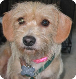Cairn Terrier Mix Dog for adoption in Norwalk, Connecticut - Kasey - good with cats!