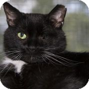 American Shorthair Cat for adoption in Lombard, Illinois - Handsome