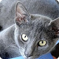 Domestic Shorthair Cat for adoption in Palm City, Florida - Flannel